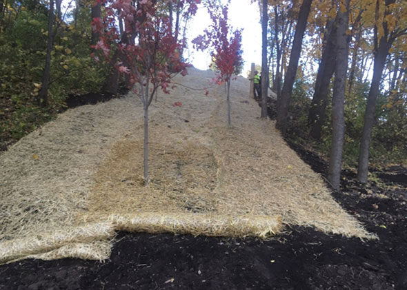 New trees planted on the access road, along with straw to help with erosion